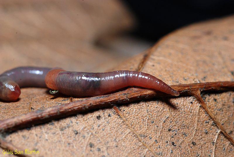 Renewal Stone Earthworm