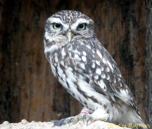 Wisdom Stone Owl