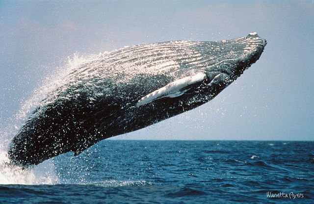 The Spirit Path of the West: Healing the Spirit - Whale